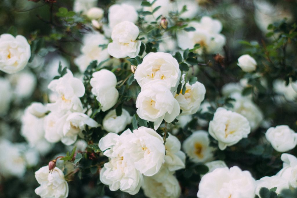 beaucoup de roses blanches sur un rosier
