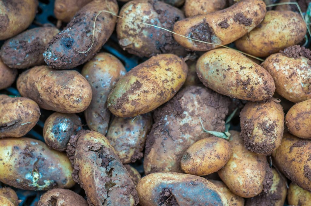 blight infected potatoes
