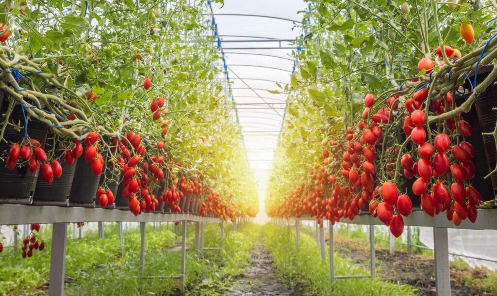 ferme de tomates non infectée par la brûlure de la tomate